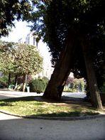 Der älteste Baum von Paris