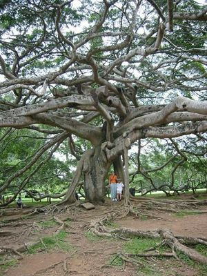 der älteste Benjaminusbaum in Sri Lanka