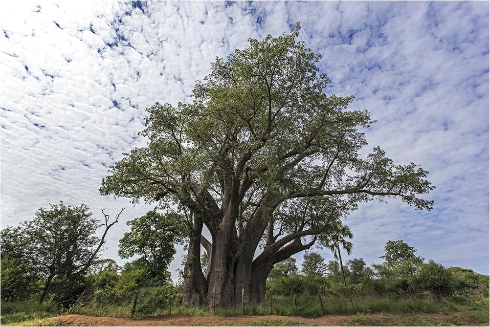 Der Afrikanische Affenbrotbaum (Adansonia digitata), auch Afrikanischer Baobab genannt...