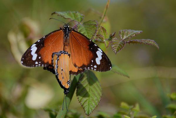 der afrikanische Monarch
