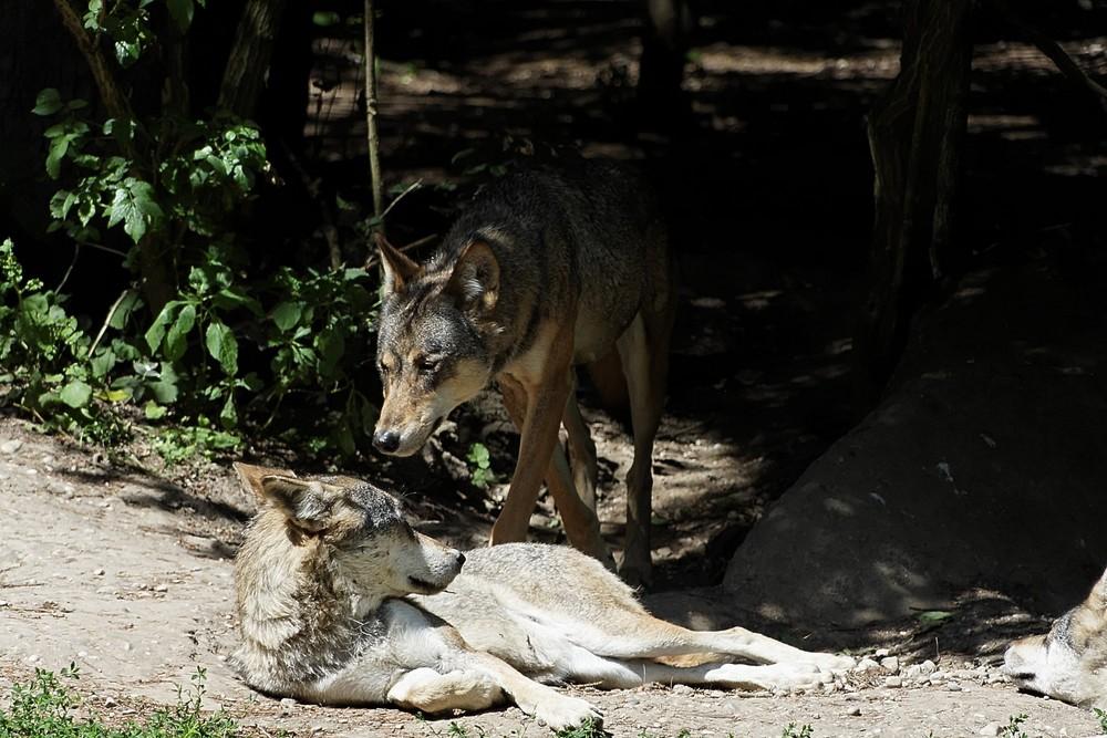 Der Alphawolf geht um...
