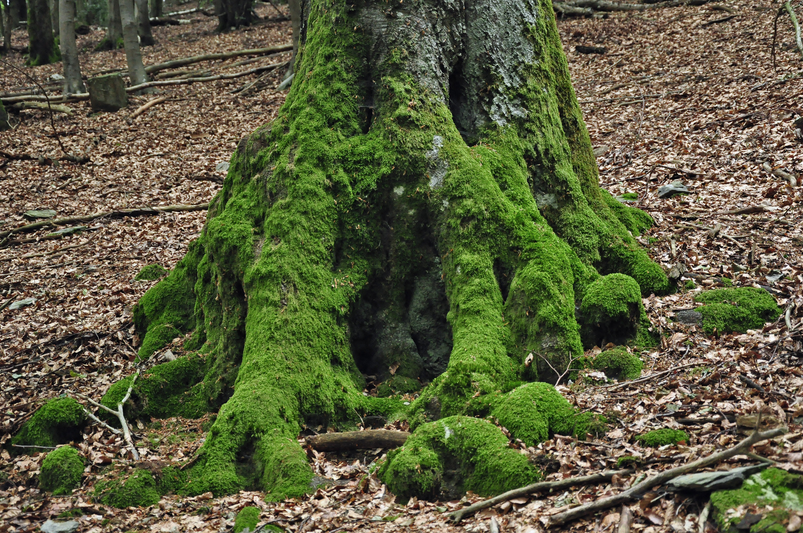 Der alte Baum am Schöpfungspfad