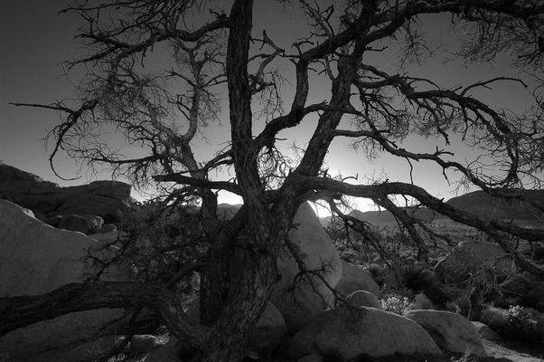 Der alte Baum - Joshua-Tree-National-Park