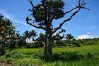 """ Der alte Baum "" , Umgebung von Ibajay - Aklan - Panay Sept. 2010"
