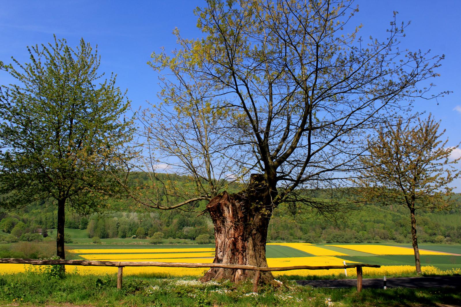 -Der alte Baum... und die blühenden Rapsfelder-