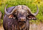 Der alte Büffel