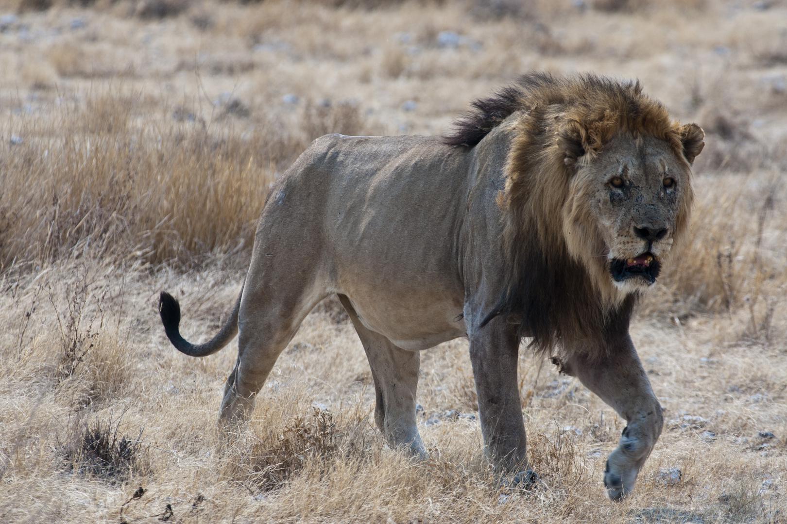 Der alte König - Löwe im Etosha NP