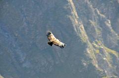 Der Andenkondor im Flug über dem Colca-Canyon (1)