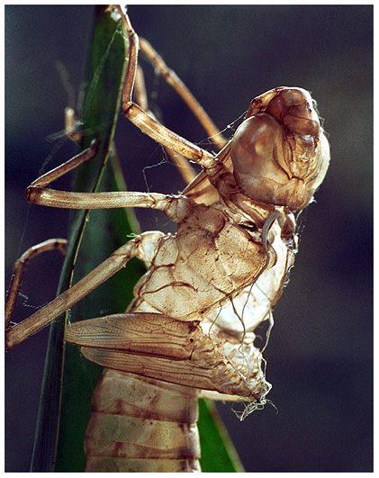 Der Anfang eines Libellenlebens