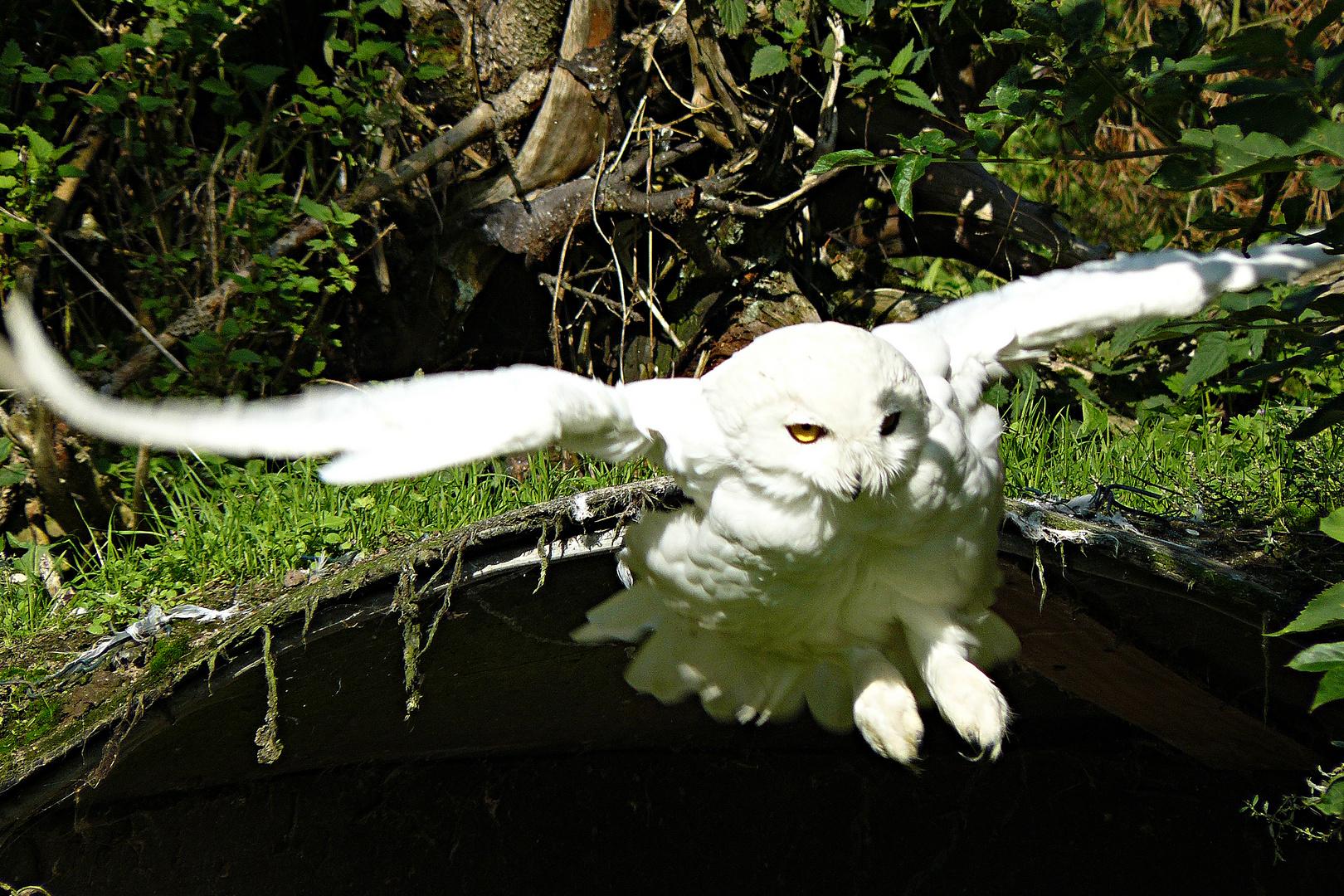 Der Anflug einer Schneeeule im Vogelpark Marlow