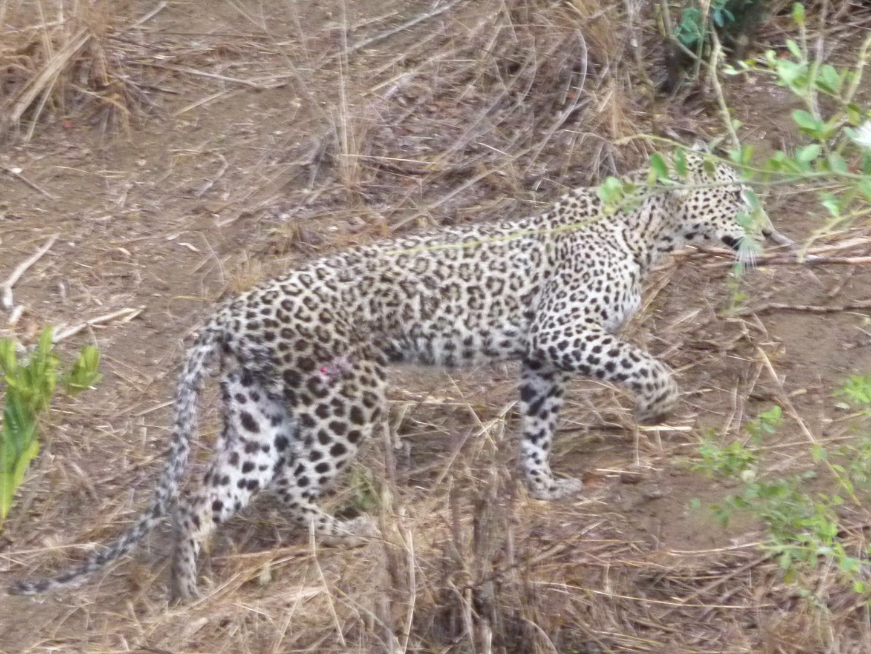 Der angegriffene Leopard schleicht sich vom geschehen langsam fort.