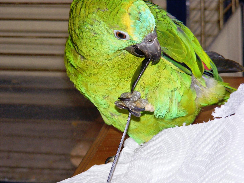 Der anständige Vogel benutzt Besteck