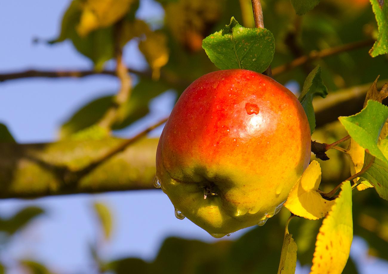 Der Apfel am Baum.