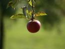 Der Apfel aus Ortenburg