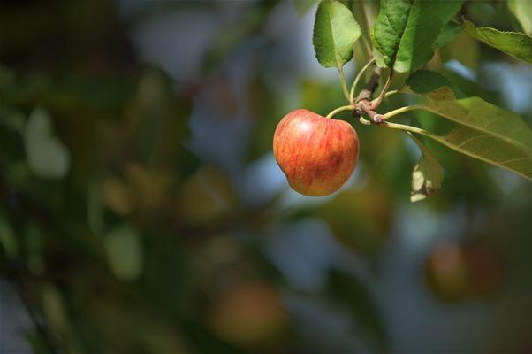 Der Apfel im Licht