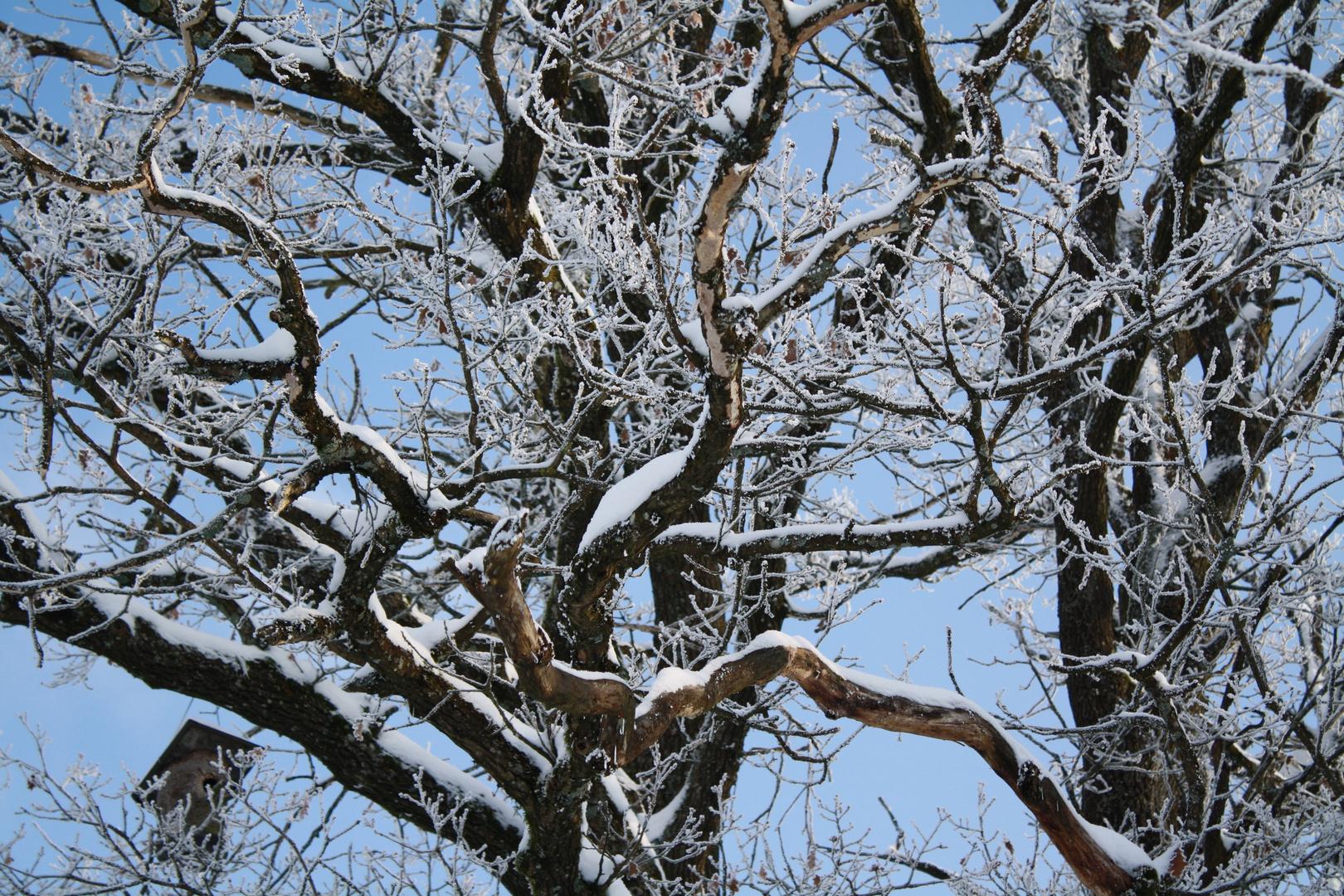 Der Apfelbaum im Winter