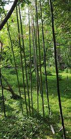 Der aus seinem verlies ausgebrochene Bambus meiner Nachbarin.....