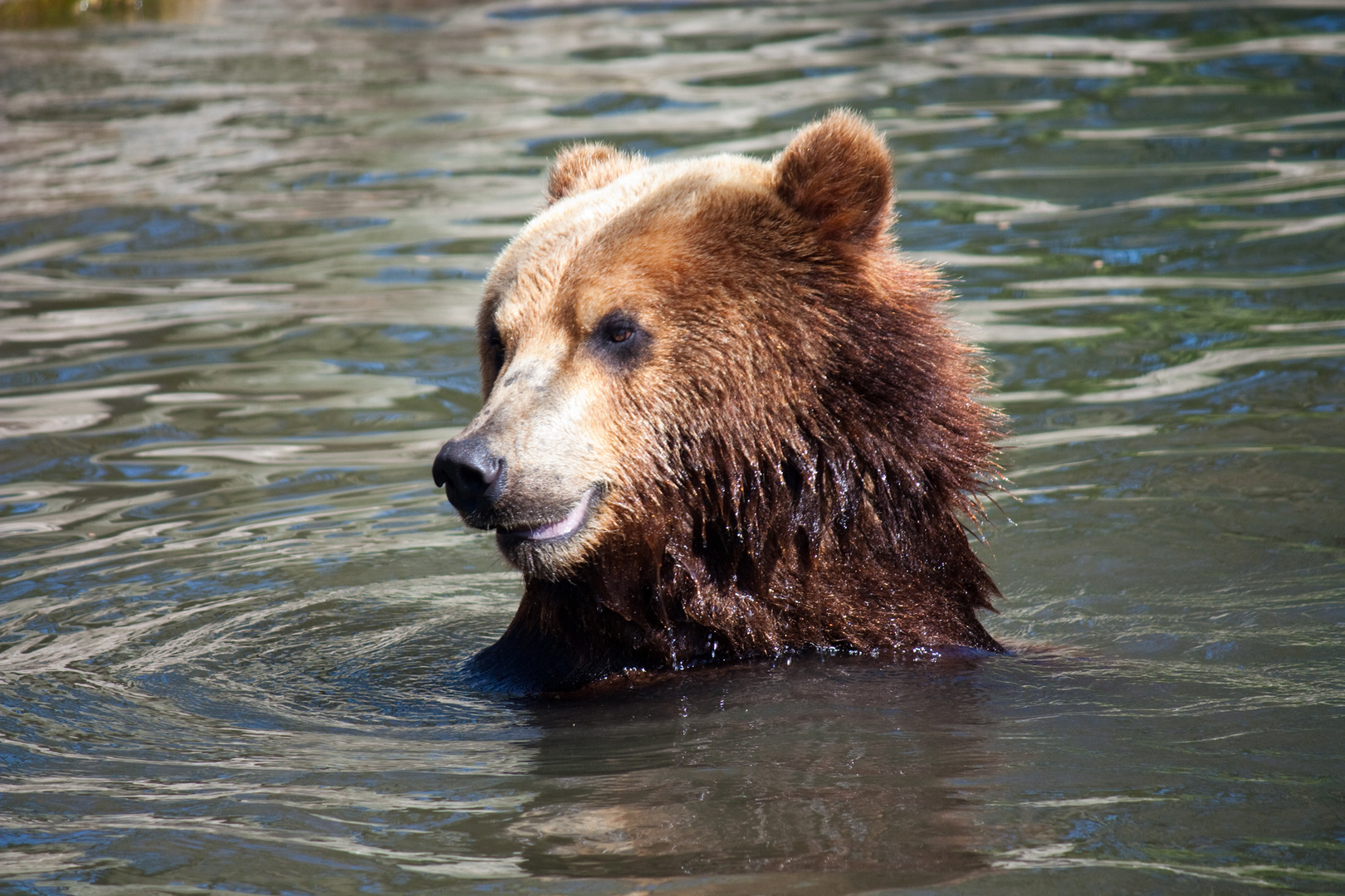 der Bär hat schon Badesaison ...