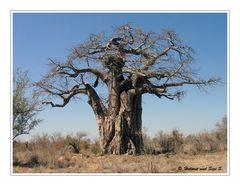 Der Baobab