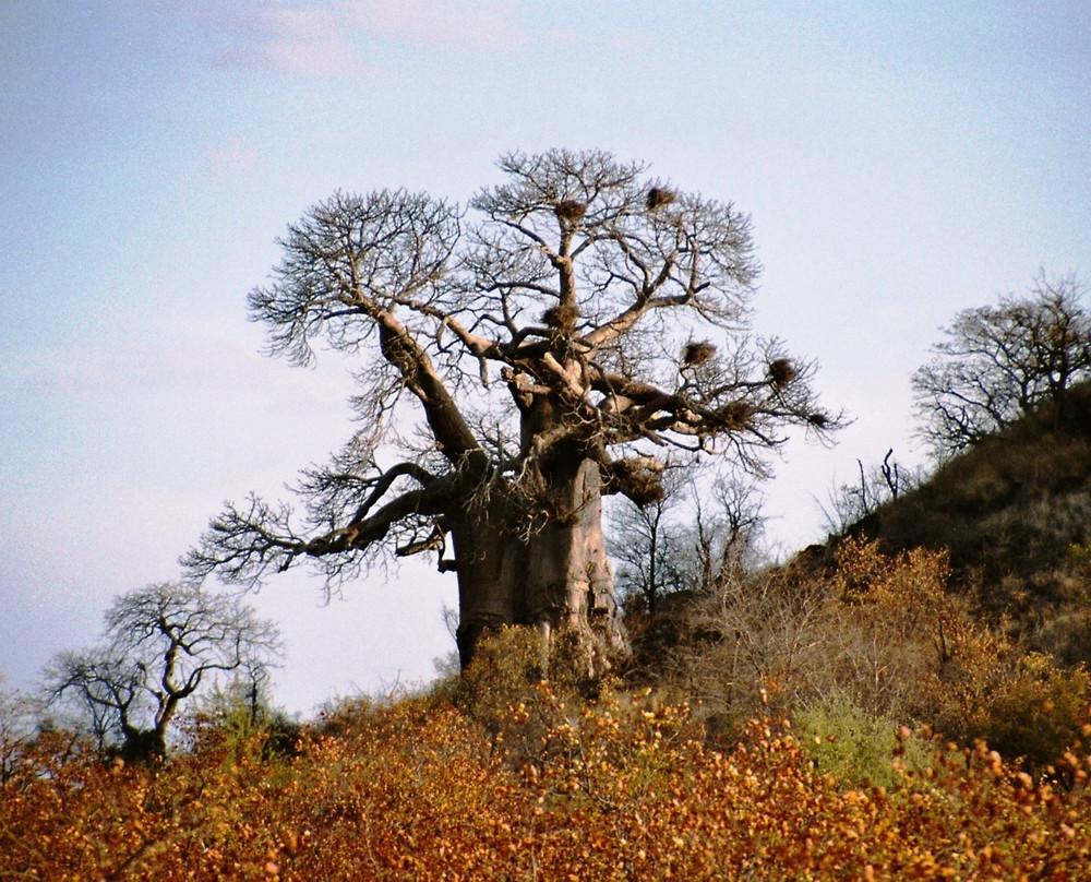der baobab baum foto bild africa southern africa south africa bilder auf fotocommunity. Black Bedroom Furniture Sets. Home Design Ideas