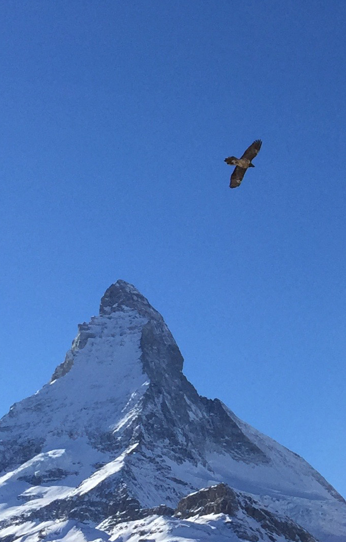 der Bartgeier über Zermatt