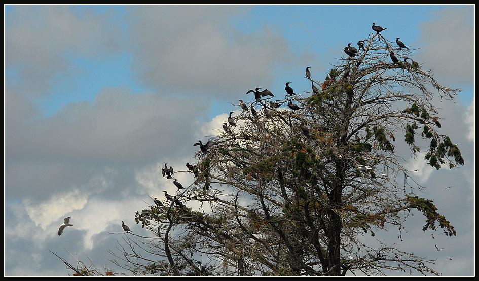 Der Baum der Kormorane