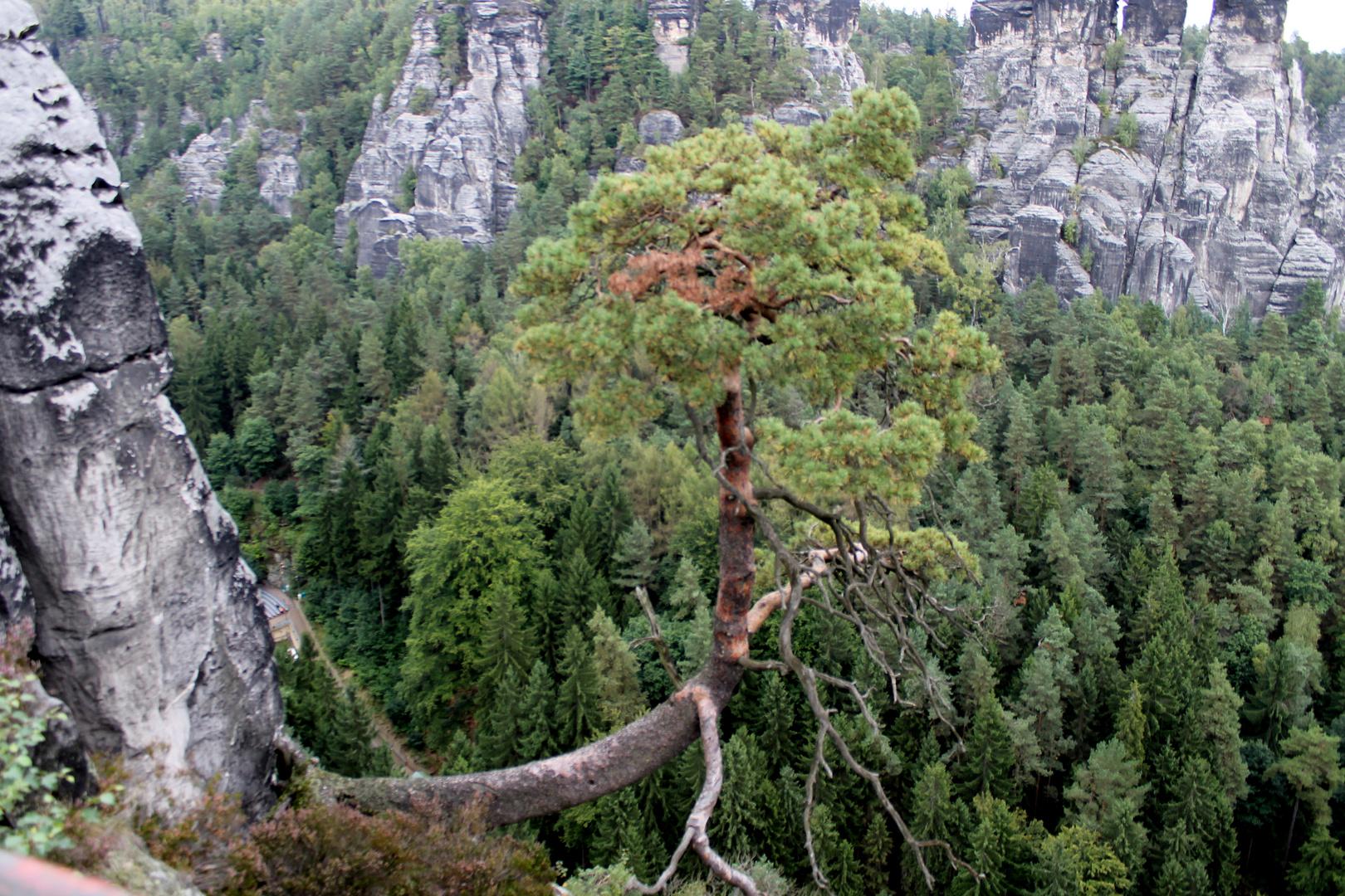der baum im elbsandsteingebirge