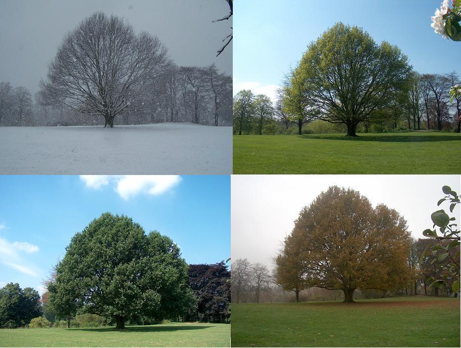 Der Baum und die Jahreszeiten