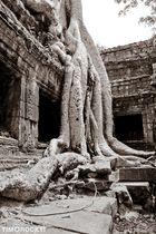 der Baum von Angkor Wat