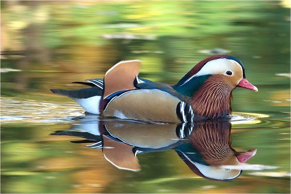 Der Beau unter den Enten!