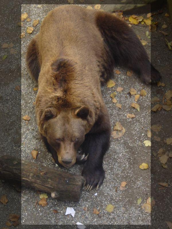 Der Berner Bär