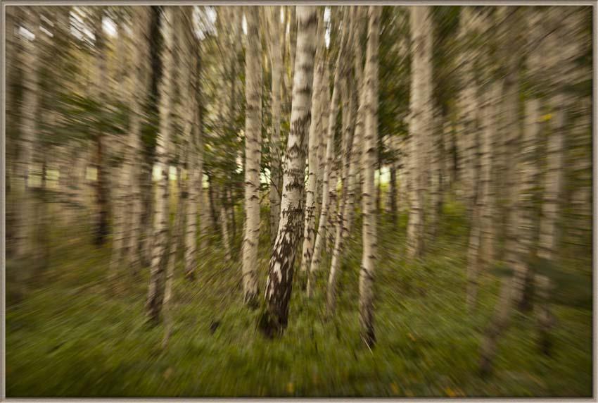 Der Birkenwald