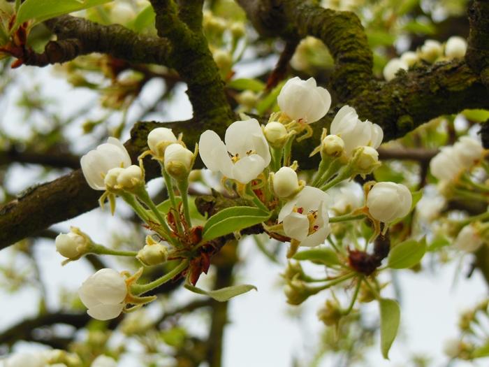der Birnbaum...