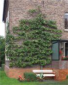 Der Birnbaum ...