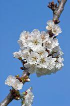 der Birnbaum blüht