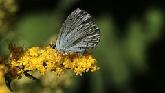 der 'Bläuling' (Lycaenidae)...
