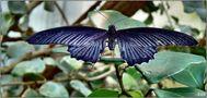 der blaue Falter (Papilio memnon) von Juan