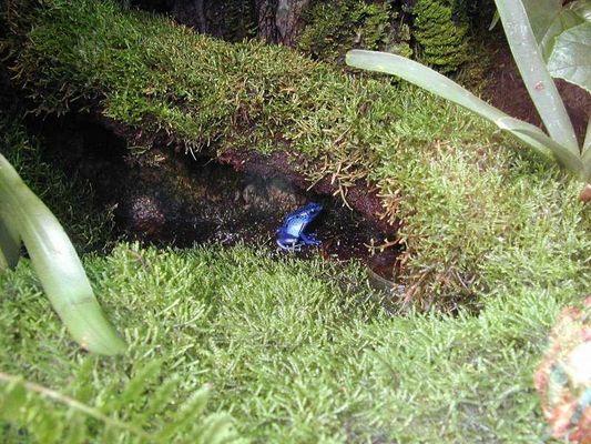 Der blaue Frosch