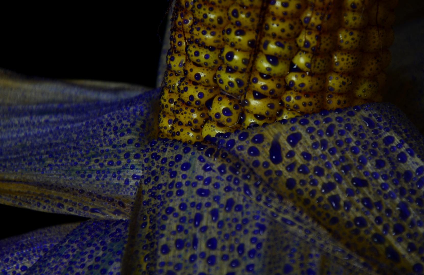 Der blaue Mais