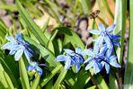 """""""Der Blaustern ( Scilla bifolia )"""""""