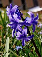 der blauviolette Liebling im Garten