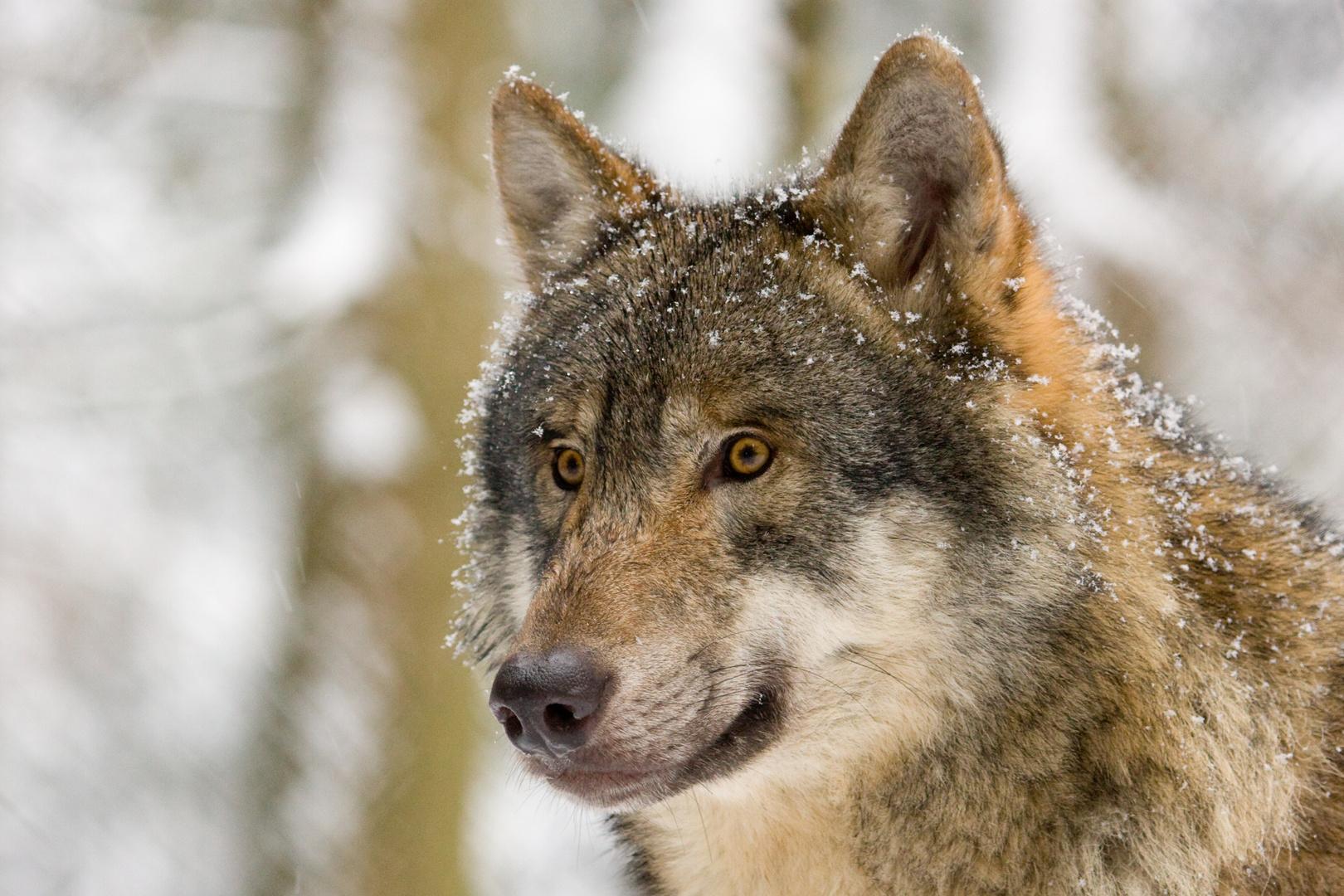 Der Blick der Wölfin