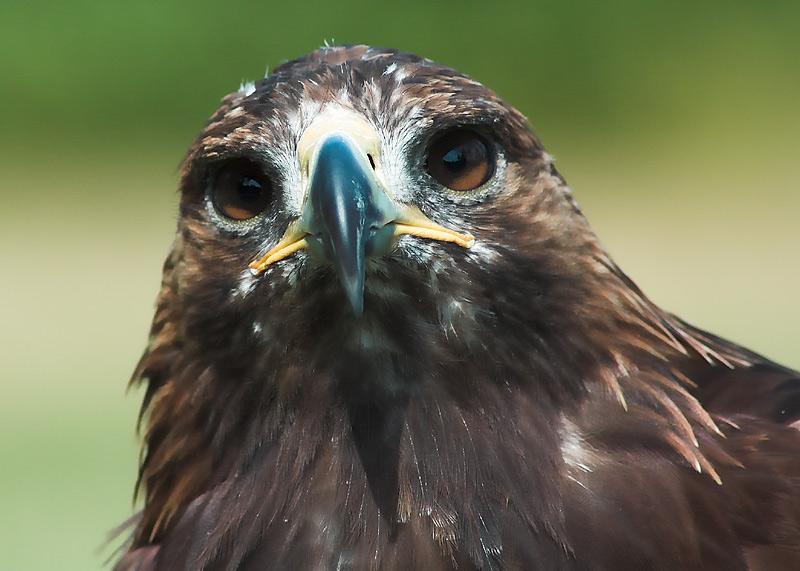 Der Blick eines Adlers ist immer faszinierend