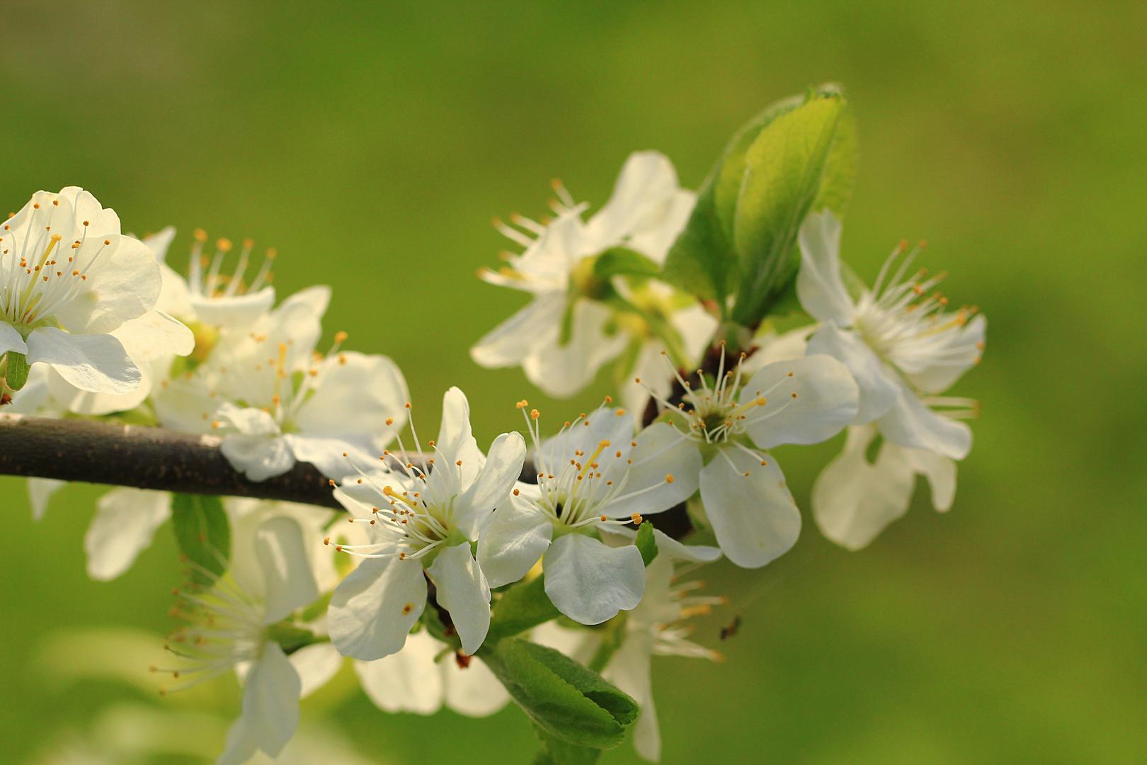 Der Blütenzweig