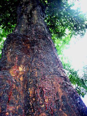 der blutende Baum