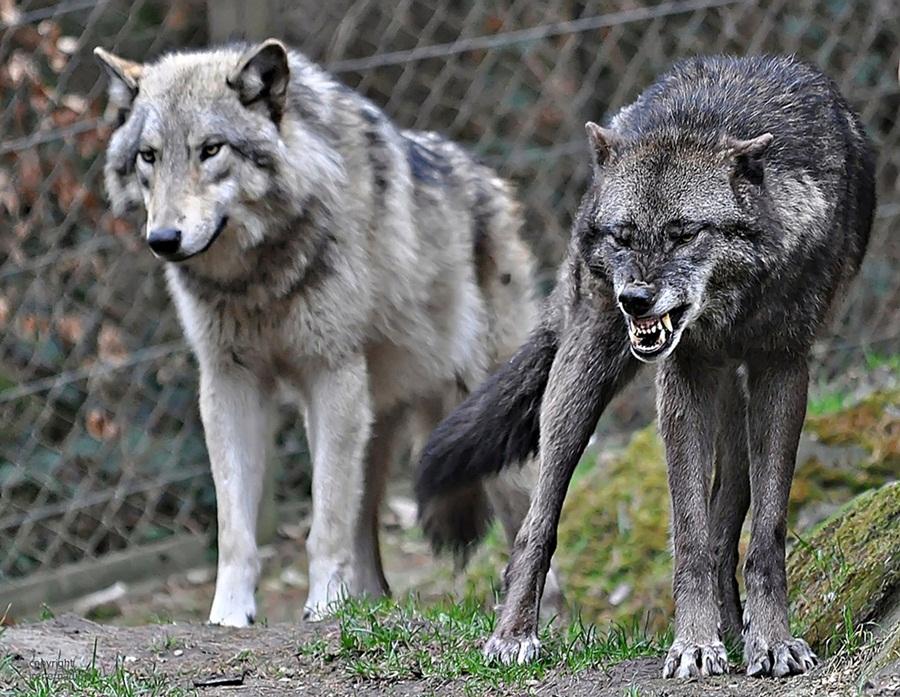 der b se b se wolf foto bild tiere zoo wildpark falknerei s ugetiere bilder auf. Black Bedroom Furniture Sets. Home Design Ideas