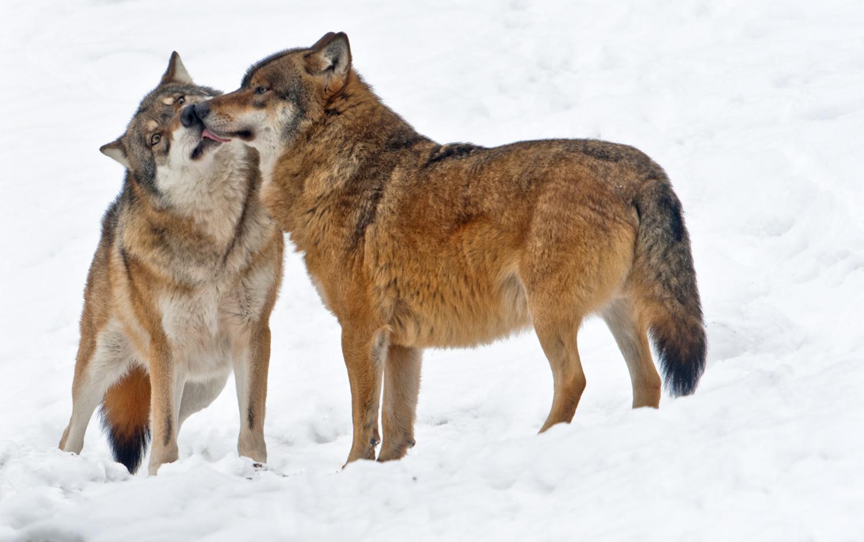Der böse Wolf........