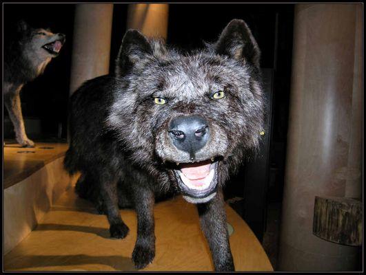 Der böse Wolf...