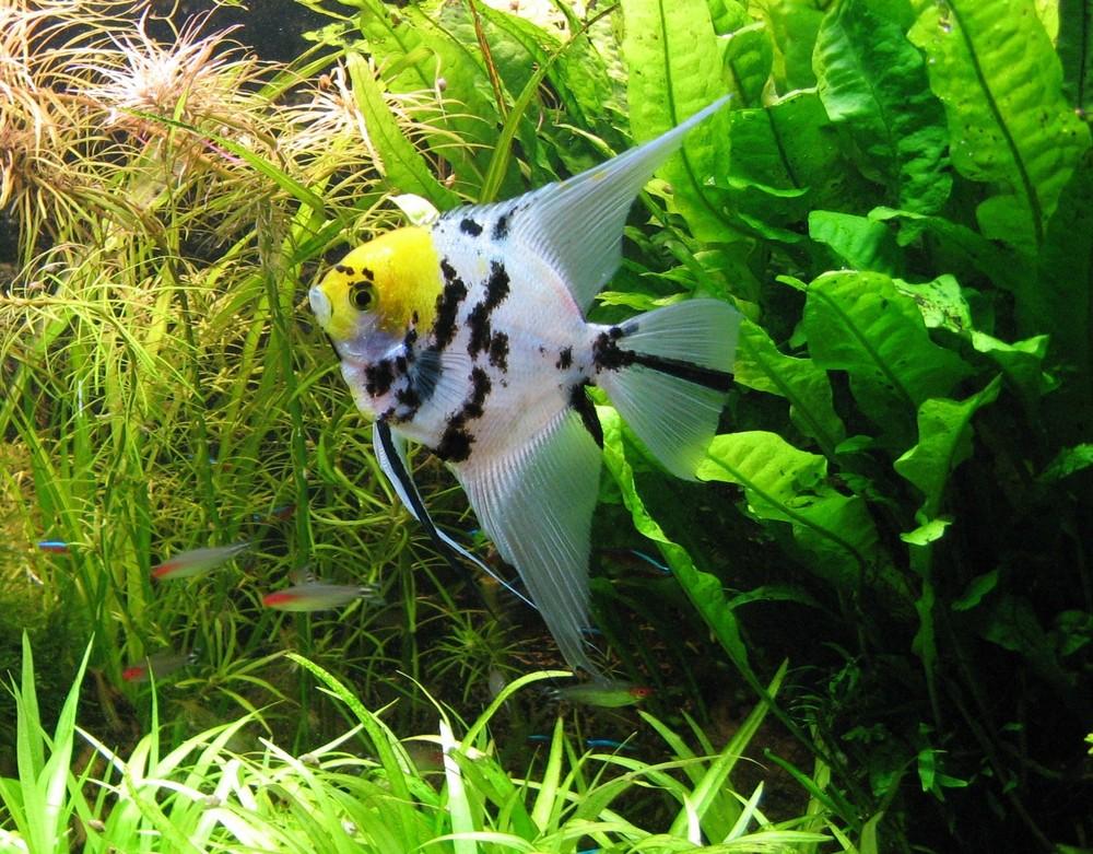 Der Boss in meinem Aquarium