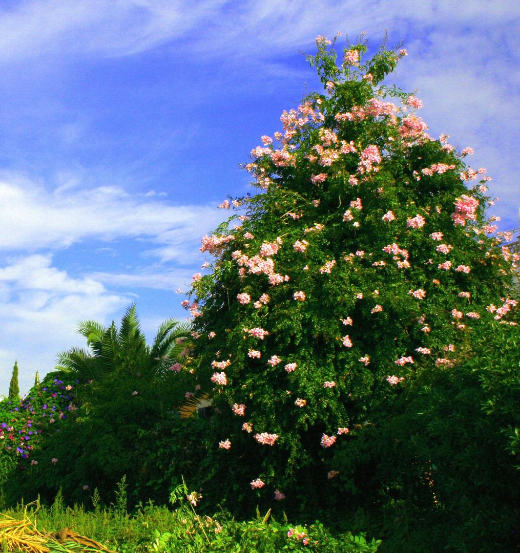 Der Bougainvillea-'Baum'